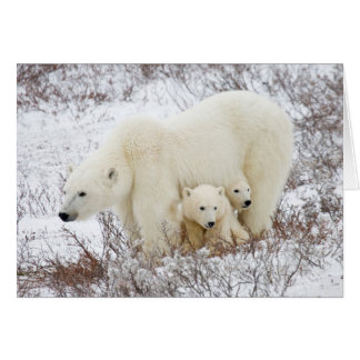 Polar Bears female and Two cubs Card