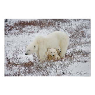 Polar Bears female and Two cubs Poster