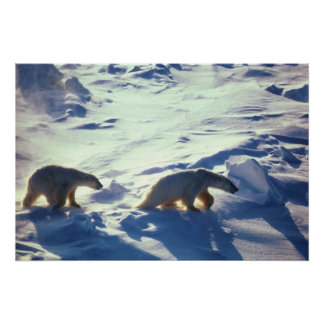 Polar Bears In Cape Lisburne Poster