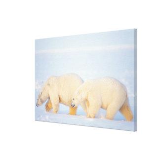Polar bears on frozen Arctic, 1002 coastal Canvas Print
