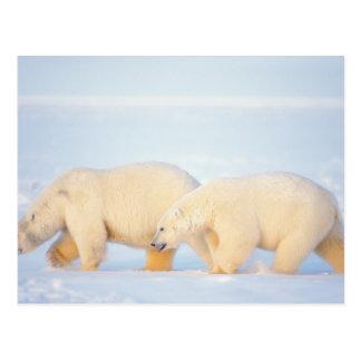 Polar bears on frozen Arctic, 1002 coastal Postcard