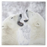 Polar Bears playing in the snow Ceramic Tiles