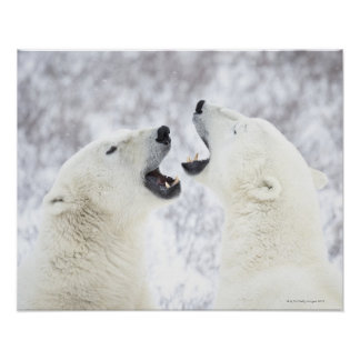 Polar Bears playing in the snow. Poster