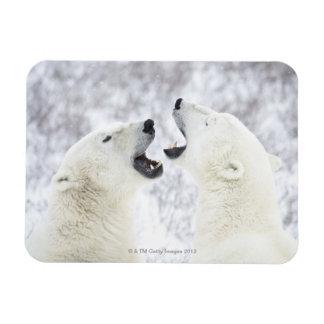 Polar Bears playing in the snow. Rectangular Photo Magnet