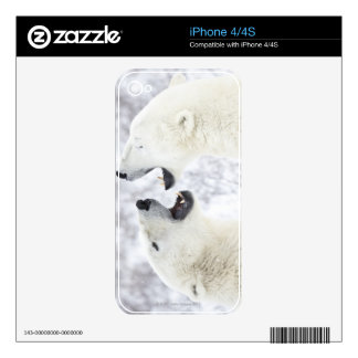Polar Bears playing in the snow Skins For The iPhone 4S