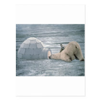 Polar-bears Postcard