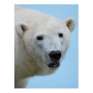 Polar bears profile postcard