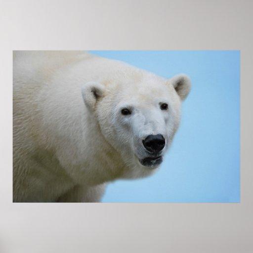Polar bears profile print