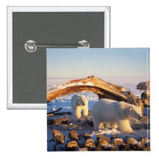 Polar bears scavenging on a bowhead whale button