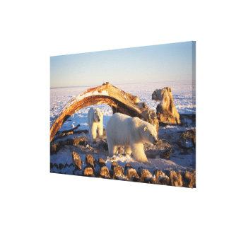Polar bears scavenging on a bowhead whale canvas print