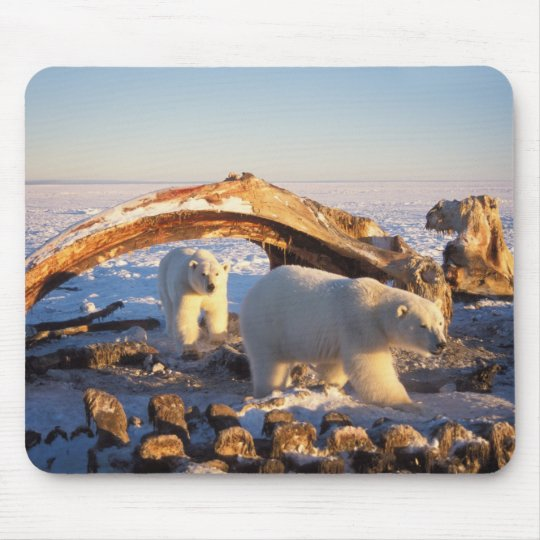 Polar bears scavenging on a bowhead whale mouse pad