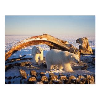 Polar bears scavenging on a bowhead whale postcard