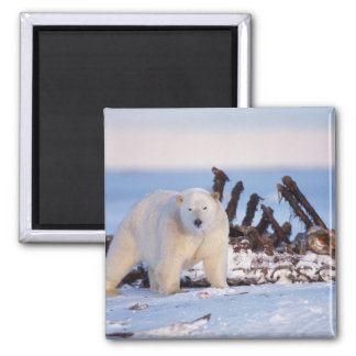 Polar bears scavenging on baleen whale bones, 2 inch square magnet