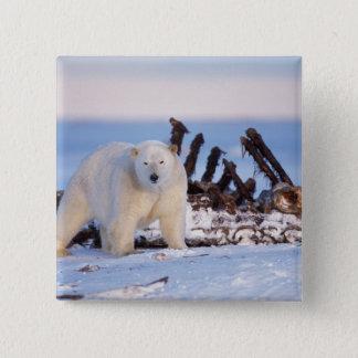 Polar bears scavenging on baleen whale bones, button