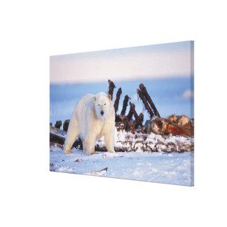 Polar bears scavenging on baleen whale bones, canvas print