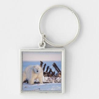 Polar bears scavenging on baleen whale bones, keychain