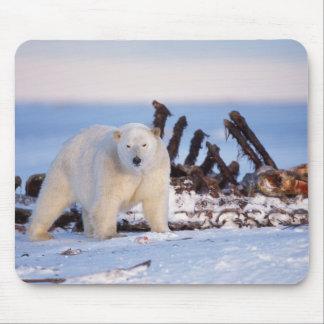 Polar bears scavenging on baleen whale bones, mouse pad