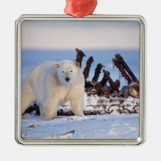 Polar bears scavenging on baleen whale bones, square metal christmas ornament