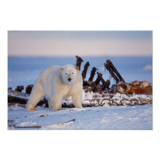 Polar bears scavenging on baleen whale bones, poster