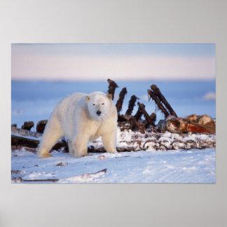 Polar bears scavenging on baleen whale bones, poster