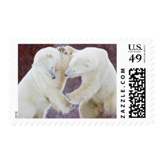 Polar Bears sparring 2 Postage