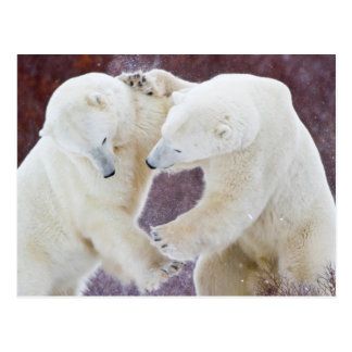 Polar Bears sparring 2 Postcard
