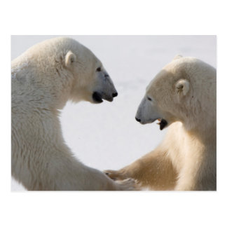 Polar Bears sparring Postcard