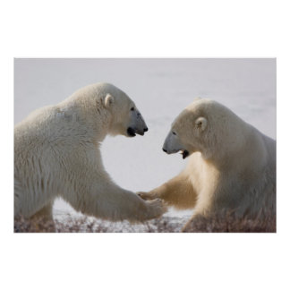 Polar Bears sparring Print