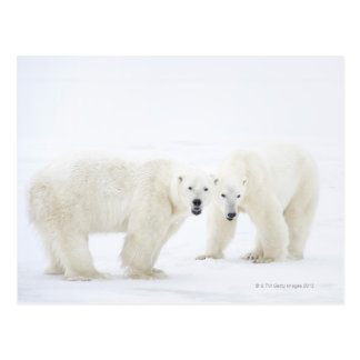 Polar Bears standing on snow after playing 2 Postcards