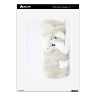 Polar Bears standing on snow after playing 2 Skin For iPad 3