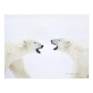 Polar Bears standing on snow after playing Postcard