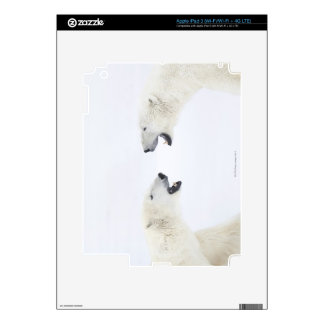 Polar Bears standing on snow after playing Skin For iPad 3