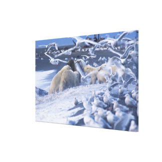 Polar Bears Ursus maritimus), gather around Canvas Print