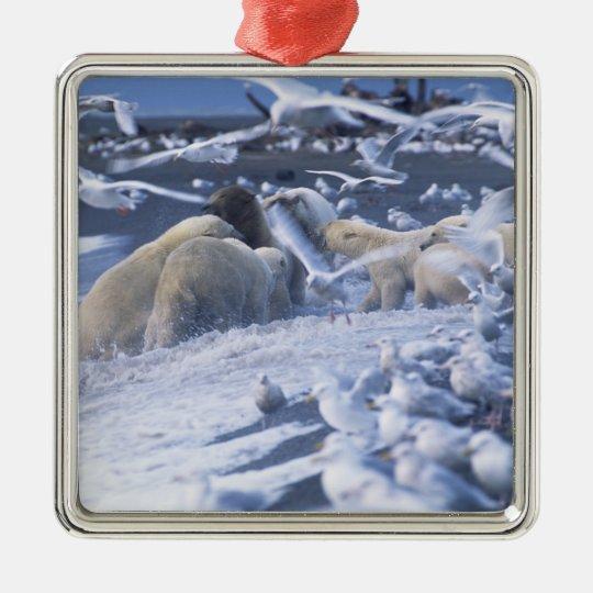 Polar Bears Ursus maritimus), gather around Metal Ornament