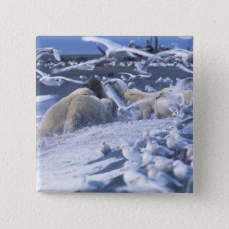Polar Bears Ursus maritimus), gather around Pinback Button