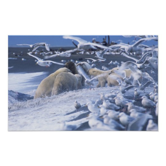 Polar Bears Ursus maritimus), gather around Poster