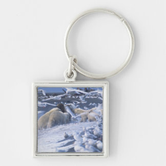 Polar Bears Ursus maritimus), gather around Silver-Colored Square Keychain