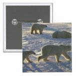 Polar bears Ursus maritimus) Two females, Pins