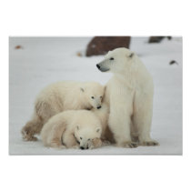 Polar She-bear With Cubs Poster