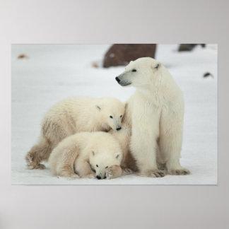 Polar She-bear With Cubs Print
