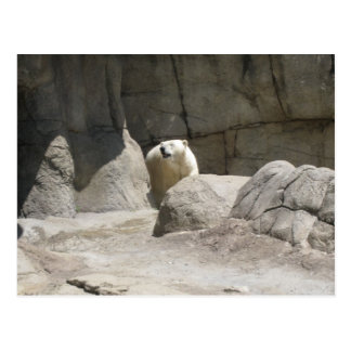 polarbear postcard