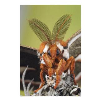 Polilla de Cecropia, cecropia del Hyalophora, adul Fotografías