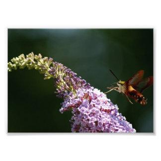 Polilla de colibrí impresión fotográfica 7 x 5 fotografías