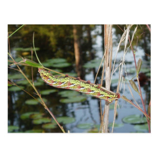 Polilla de esfinge Caterpillar en Ludwigia Postales