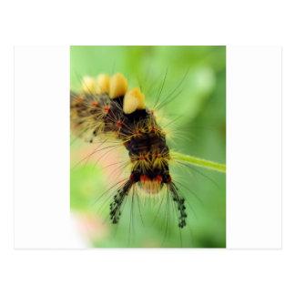 polilla del vapourer (oruga) postales