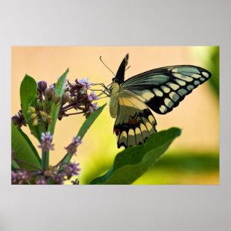 Polilla gigante de Swallowtail Posters