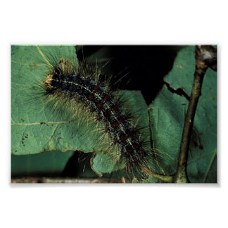 Polilla gitana Caterpillar Poster