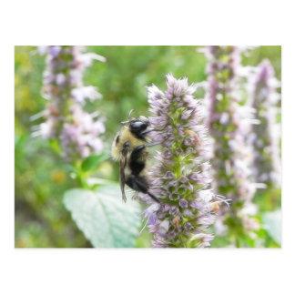 Polinización - abejorro en Agastache Postal
