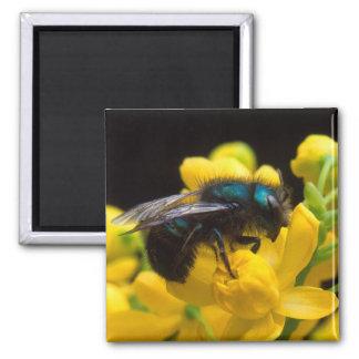 Polinización del abejorro imán cuadrado