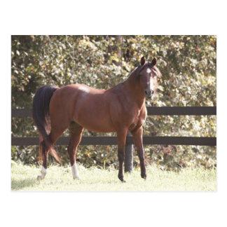 Polish Arabian Horse Postcard